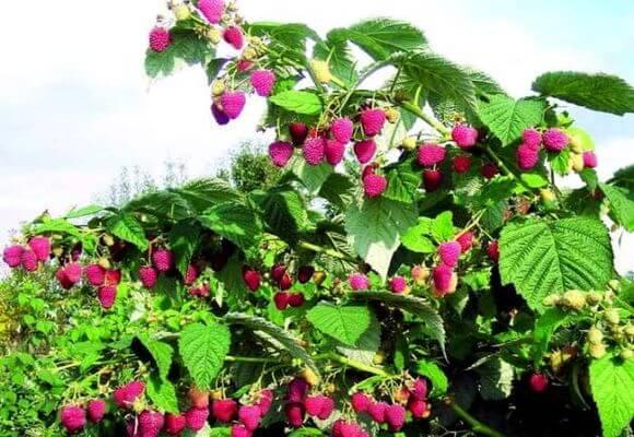 сорта древовидной ягоды