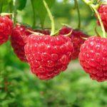 урожай ягод в подмосковье