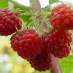сорт ягоды сказка