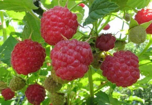 ягоды сорта геракл