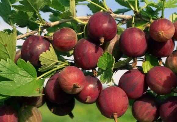 багровые ягоды