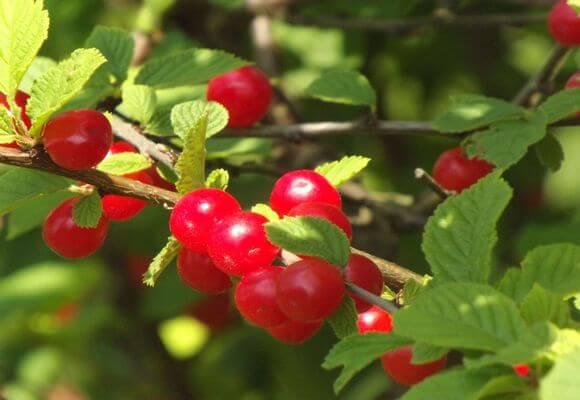 красные ягоды на ветке