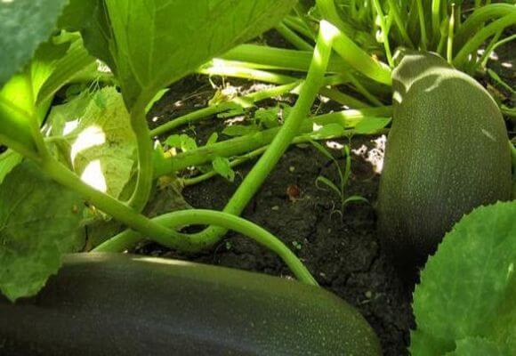 овощи на грядке