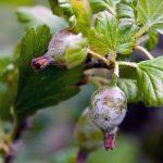 налет на ягодах