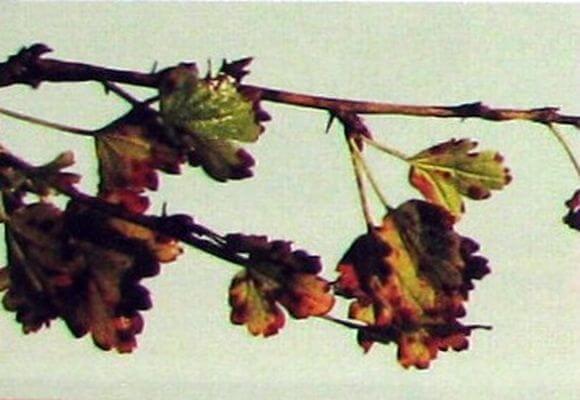 Филлостиктозная пятнистость листьев