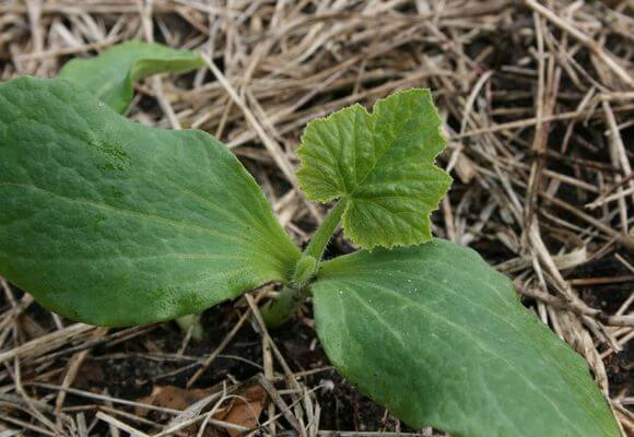 уход за рассадой овоща