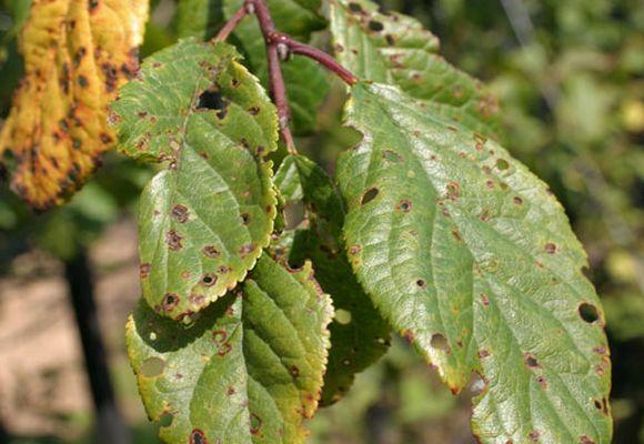 больные листья