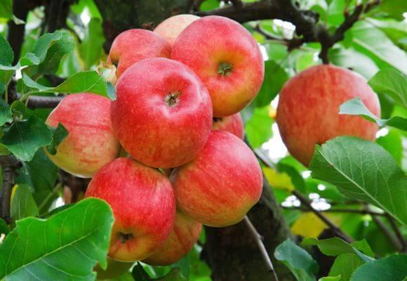 спелые яблоки на ветвях