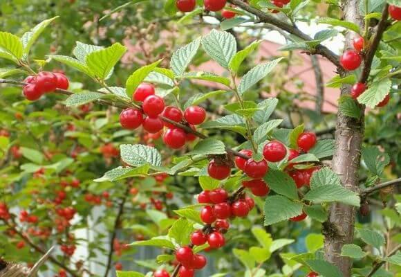 ягоды на дереве