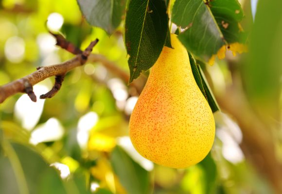 желтая груша на ветке