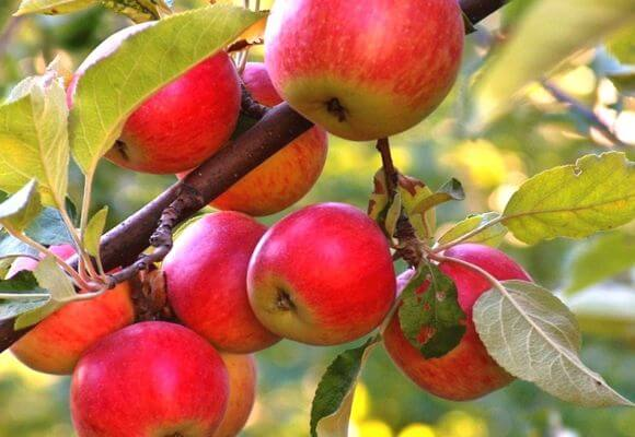 красные яблоки на ветке