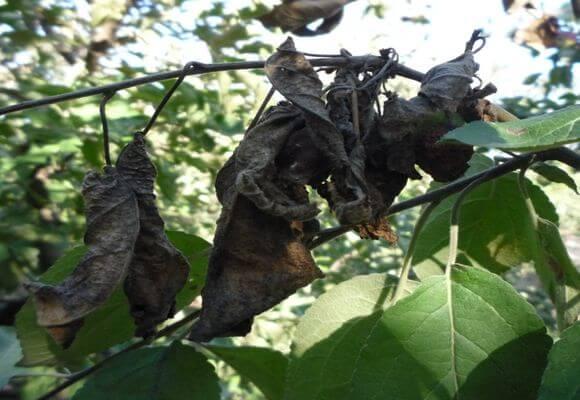 Бактериальный ожог на листьях груши