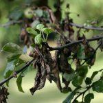 Темные и закрученные листья на груше
