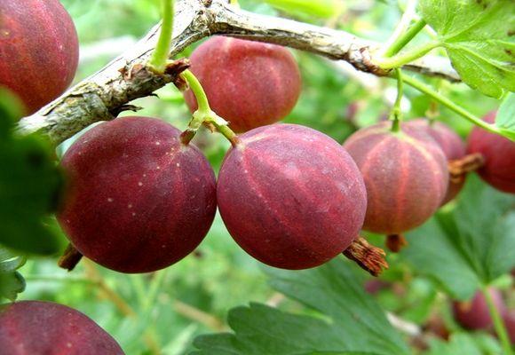 бурые ягоды