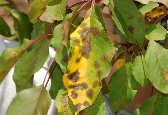пятна на желтых листьях