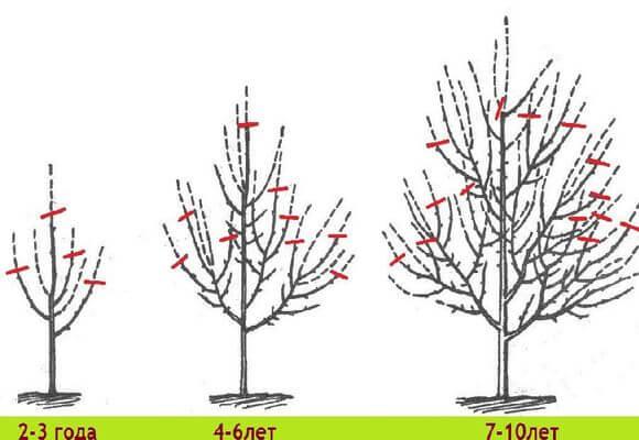 Схема обрезки плодовых