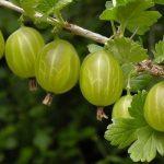 ягоды на ветке