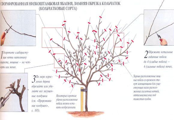 Обрезка яблони зимой для начинающих