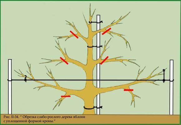 Схема подрезки яблони