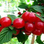 спелые ягоды на дереве