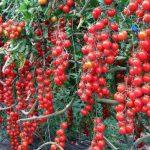 мелкие томаты на ветке