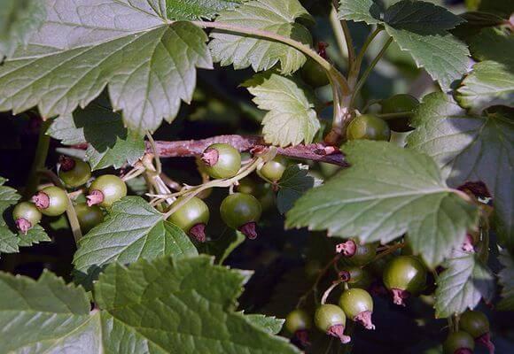 зеленые ягоды на ветке