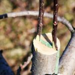 Прививание яблони