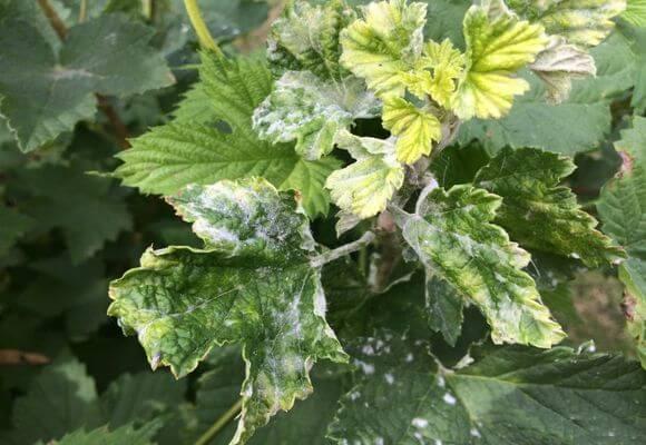 белый налет на листьях растения