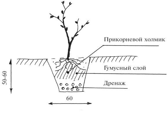 Схема пересадки куста смородины