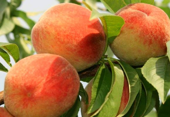 урожай фруктов