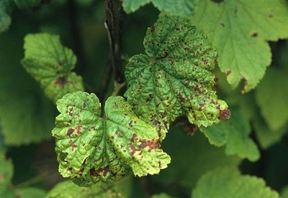 болезнь на листьях
