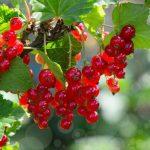 свисающие грозди