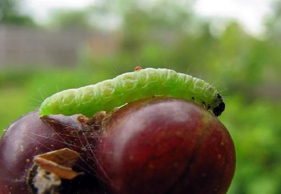 вредитель на ягодах