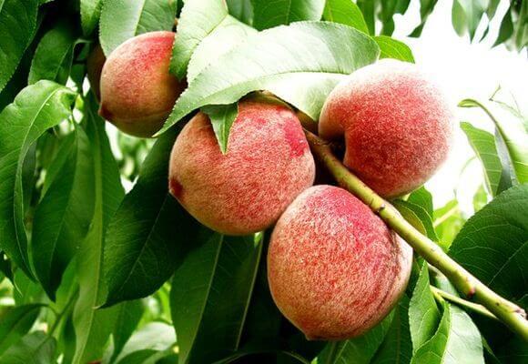 фрукты на ветке