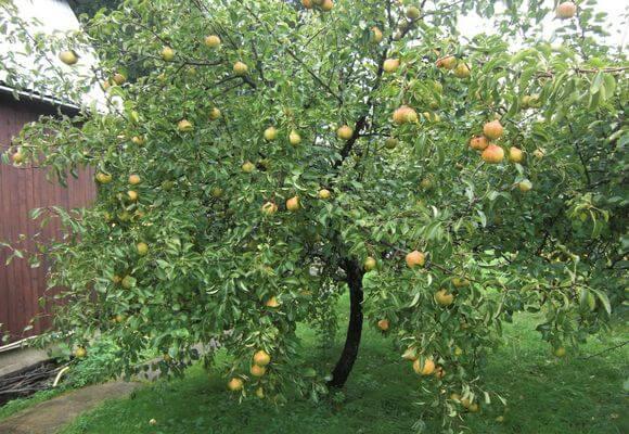 фруктовое дерево