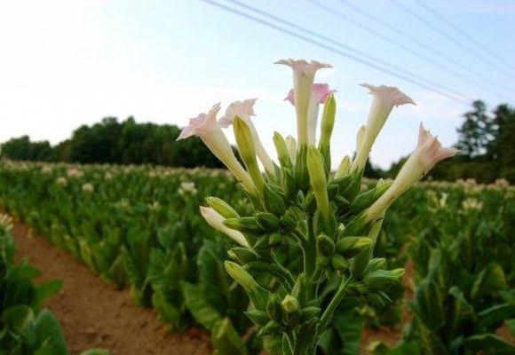 цветение кустов