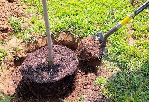 пересадка взрослого дерева