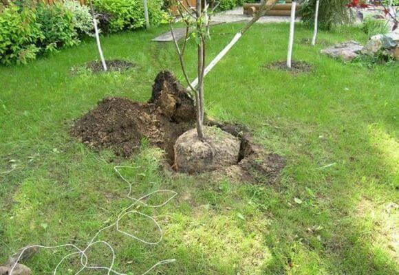 дерево в яме