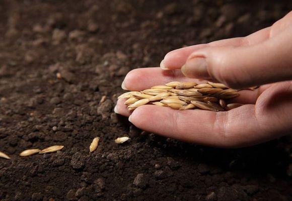 семена в руке