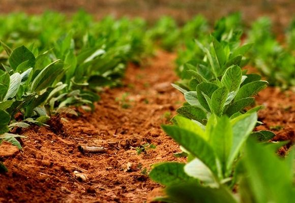 схема посадки кустов табака