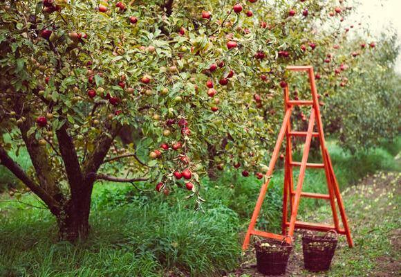 уход за яблонями в саду