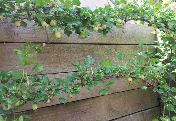 вертикальное выращивание крыжовника