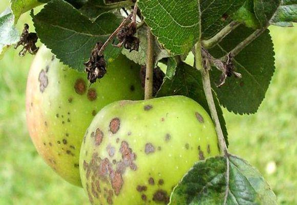 поражение плодов яблони