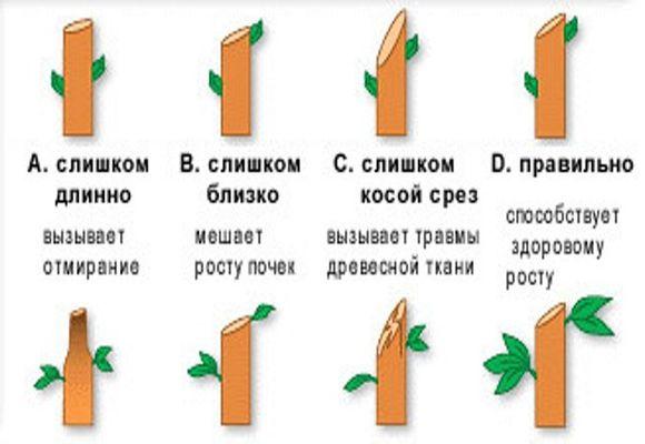 правила обрезки фруктового дерева
