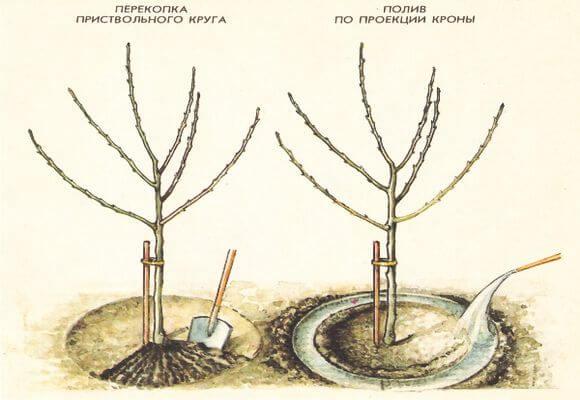 как правильно поливать яблони