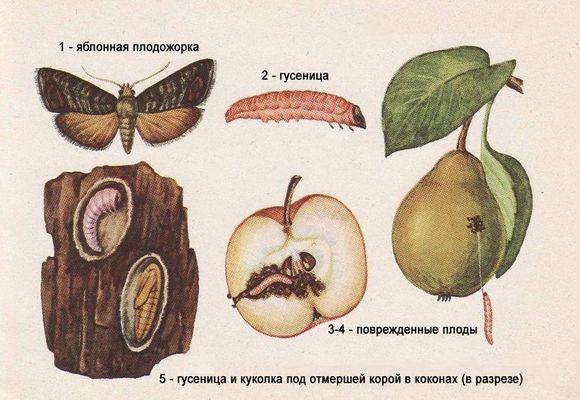 степени развития плодожорки