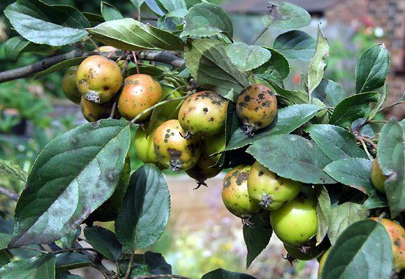 Корневая гниль яблони