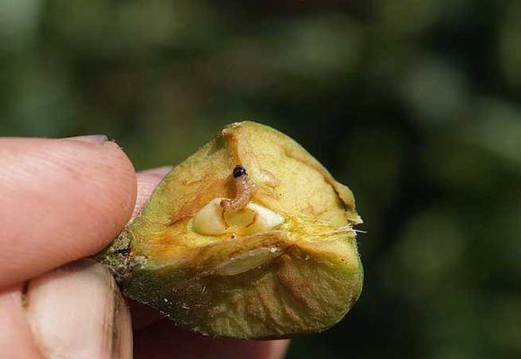 вредитель съел яблоко
