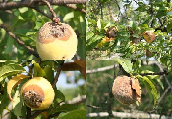 Гнилые яблоки на ветке