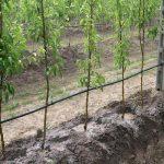 весенний полив яблонь